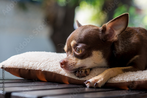 Sleepy cute short hair chihuahua lay on mattress. Wallpaper Mural