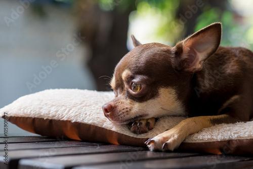 Fototapeta Sleepy cute short hair chihuahua lay on mattress.