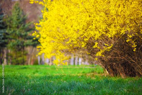 Obraz na płótnie Yellow Forsythia bush and green grassland in spring season