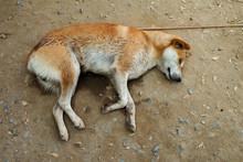 Brown Dog Homeless Sleeping On The Ground