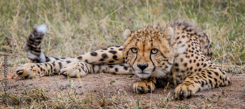 Foto Laying Cheetah