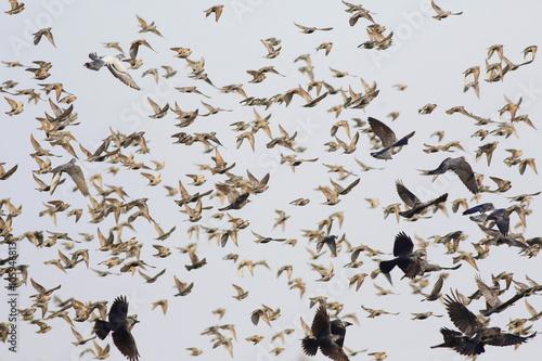 Fotomural flock of birds flying, starling, rook, crow, pigeon