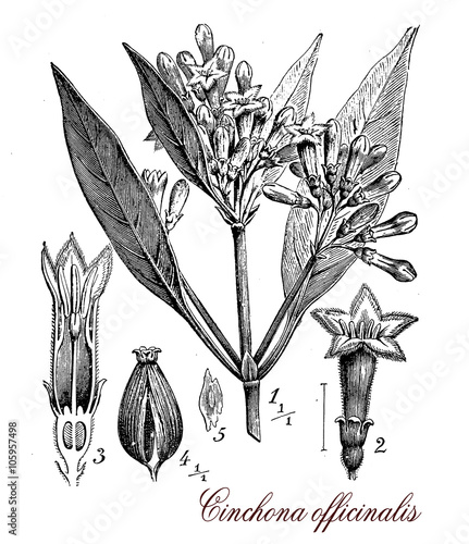 Fotografie, Obraz  Cinchona officinalis medical plant, botanical vintage engraving