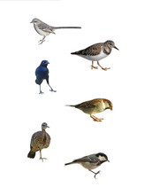 Images Of A Mockingbird, Ruddy Turnstone, Grackleon, Sparrow, Sunbittern And Coal Tit Isolated On A White Background.