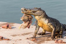 Wildlife Crocodile Catches And Eating A Chicken