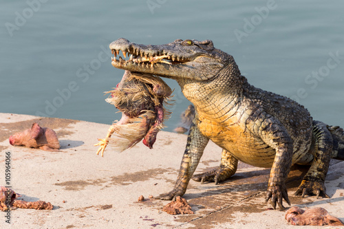 obraz dibond wildlife crocodile catches and eating a chicken