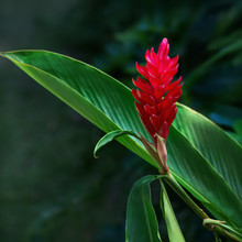Ginger Red Tropical Flower Plant Square Composition