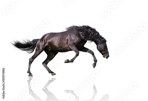 isolate of the black dangerous horse