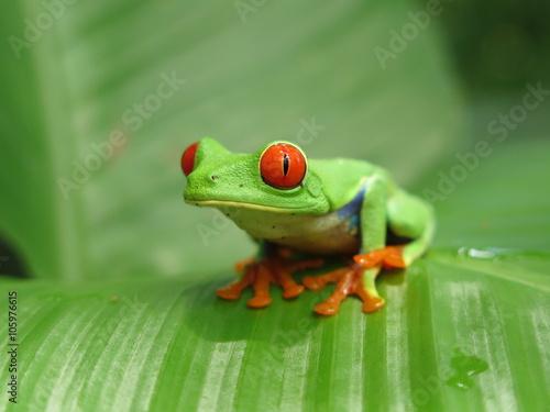 Tuinposter Kikker Red eyed tree frog on the leaf