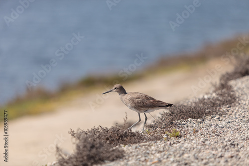 Fotografering  Long billed Dowitcher shorebird called Limnodromus scolopaceus foraging along th