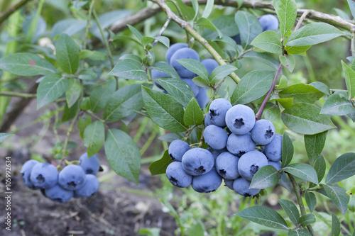 Fototapety, obrazy: fresh mellow blueberries on the green Bush.