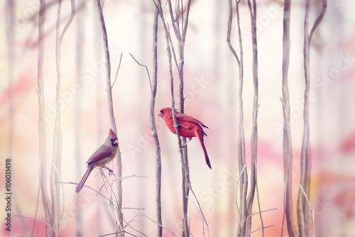 obraz dibond Northern Cardinal Birds