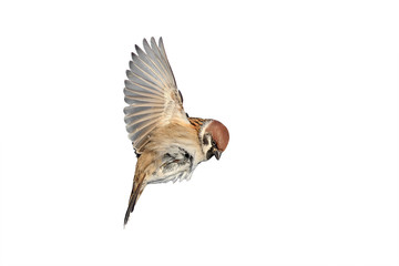 a bird a Sparrow flies to spread its wings on white isolated background