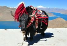 Tibet - Yak