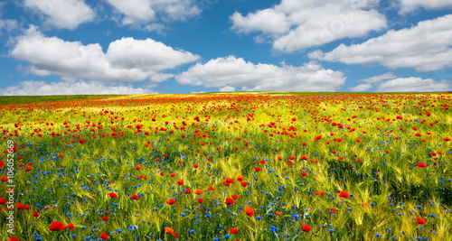 Blauer Himmel, Kornblumen und Mohnblumen im Getreidefeld