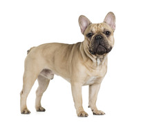 French Bulldog Fawn Color On A White Background
