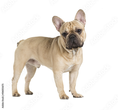 Poster Bouledogue français french bulldog fawn color on a white background