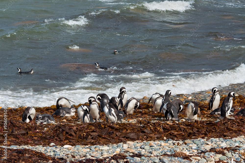 Wild magellanic penguins clean on the shore