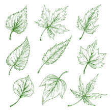 Green Leaves Sketches Of Maple...