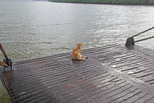 Cute, Fearless, Golden Brown Dog Enjoying Ferry Boat Ride Sitting On The Edge Of Ramp
