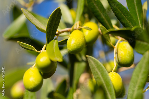 In de dag Olijfboom olive tree