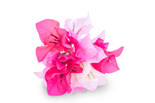 A Bunch Of Bougainvillea Flowers Isolated On White