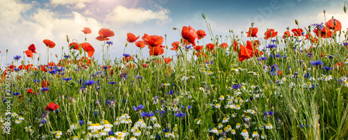 Poster Poppy Summer happiness: meadow with red poppies :)