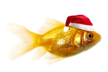 Isolated Of The Gold Fish On W...