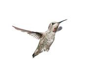 Female Annas Hummingbird In Flight With White Background