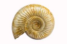 Perisphinctes, Ammonite Fossil...