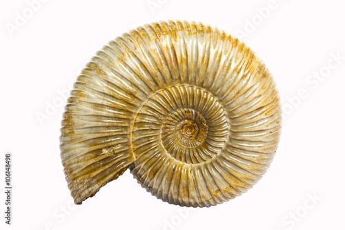 Perisphinctes, ammonite fossile color ambra, Madagascar Canvas Print
