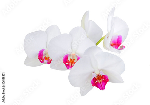 Poster Orchid White orchid flower
