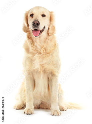 Photographie Golden retriever, isolated on white