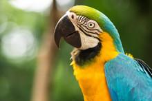 Blue-and-Gold Macaw In Natural Setting Near Iguazu Falls, Foz Do Iguacu, Brazil.