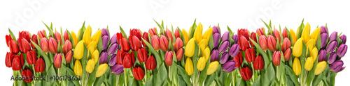 fototapeta na ścianę Fresh spring tulips water drops. Flower border