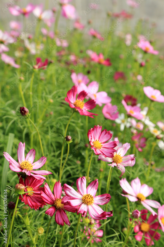 Pink cosmos flower field in sunshine.