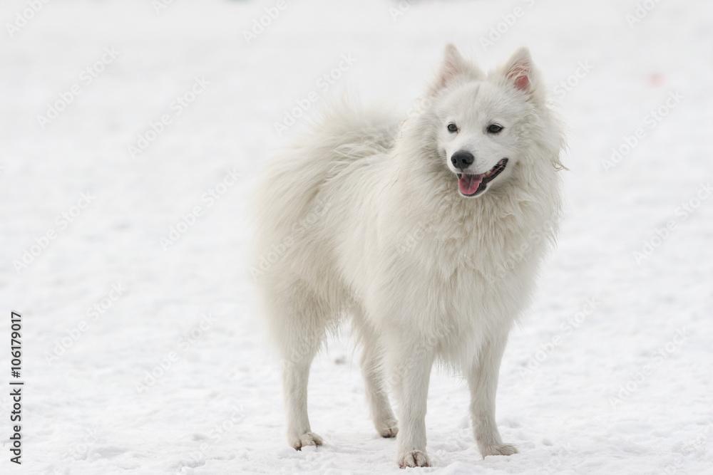 Fototapety, obrazy: Japanese Spitz dog