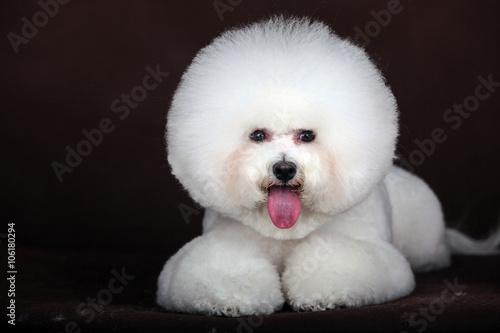 Valokuva  white Bichon Frise dog