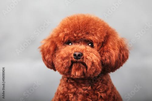 Photographie poodle dog