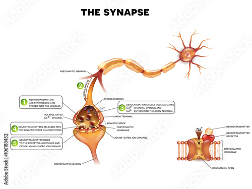Synapse detailed anatomy, beautiful colorful illustration. Neuron ...