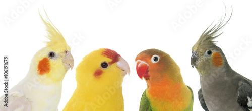 Fond de hotte en verre imprimé Perroquets portrait of birds