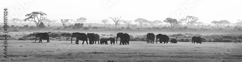 In de dag Olifant Herd of elephants walkig in Amboseli National park, Kenya, Africa. Black nad white image. Panorama.