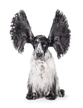 Funny English Cocker Spaniel Dog With Big Ears Up Isolated On White