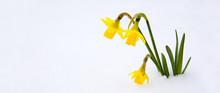 Narcissus On Tne Snow Garden.