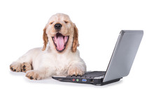 Funny Yawning English Cocker Spaniel Puppy In Front Of A Laptop Isolated On White
