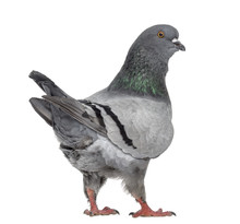 Black King Pigeon Isolated On ...