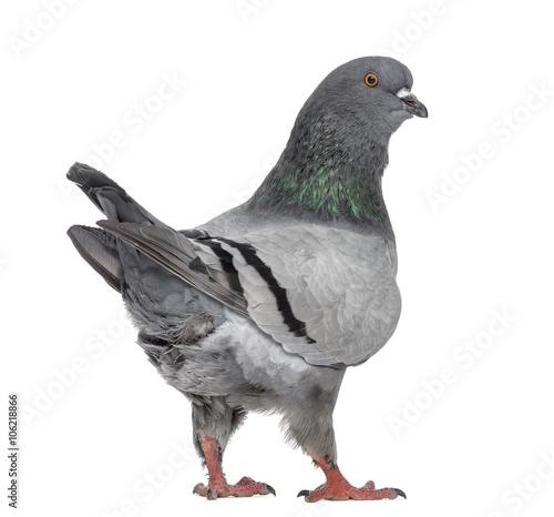 Black King Pigeon isolated on white Fototapete