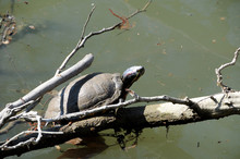 From Mud To A Warm Sunbath Comes A Turtle In Early Spring