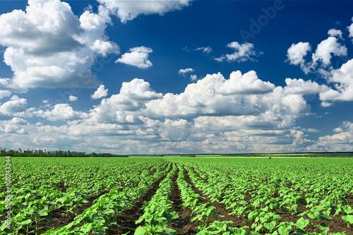 Foto auf Gartenposter Landschappen spring landscape, green field with vegetable seedling bush and blue cloudy sky