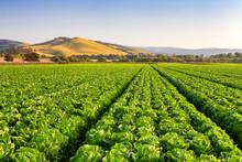 Salinas Valley Lettuce Field